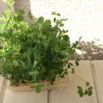 maiの簡単ベランダ菜園 楽しみながら節約 豆苗の育て方