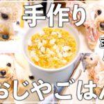 【犬の手作りご飯レシピ】簡単おじやをパクパク食べるトイプードル犬が可愛い!【作り置きOK トイプードルのわこ】