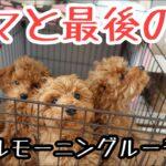 【モーニングルーティン犬】巣立ち前日のトイプー子犬とママと赤ちゃんのリアルすぎる朝(トイプードルブリーダー)